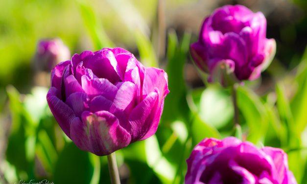 Those Purple Tulips